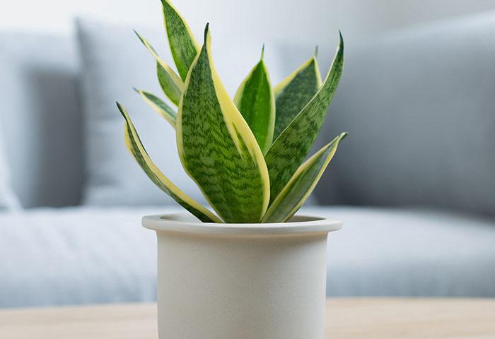 indoor plants that increase oxygen